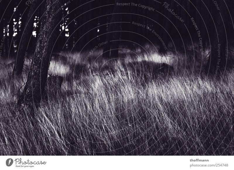 Nachts sind alle Bäume grau. wandern Natur Erde Herbst Pflanze Baum Gras Wald dunkel Angst gefährlich Halm Tanne Fichte kahl Außenaufnahme Menschenleer