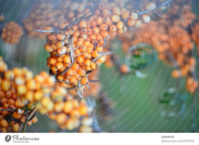 Sanddorn Herbst Pflanze Sträucher Sanddornblatt Frucht Fruchtstand Beeren Beerensträucher Beerenfruchtstand Stachel stachelig Dorn grün genießen Zusammenhalt