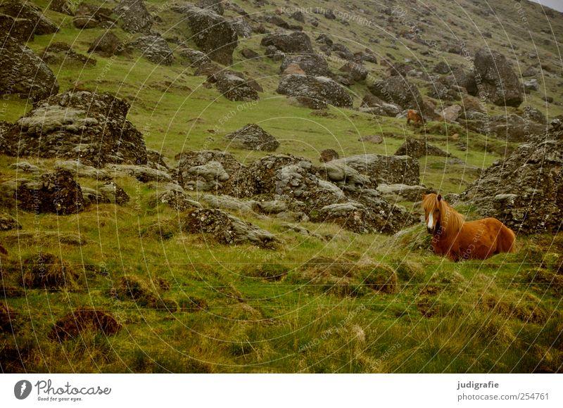 Island Umwelt Natur Landschaft Pflanze Tier Urelemente Gras Hügel Felsen Berge u. Gebirge Nutztier Pferd Island Ponys 1 natürlich wild Farbfoto Außenaufnahme