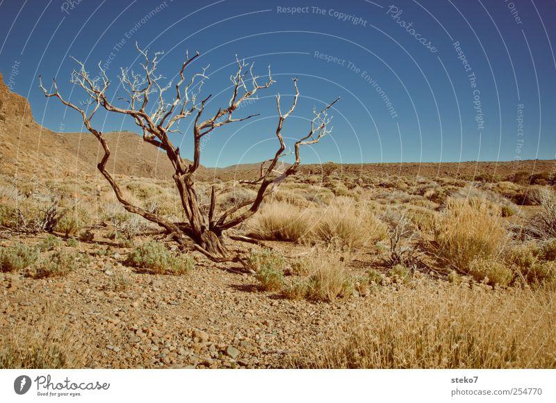 gießen vergessen? blau Baum braun Sträucher Wüste trocken Schönes Wetter vertrocknet kahl Dürre Teneriffa