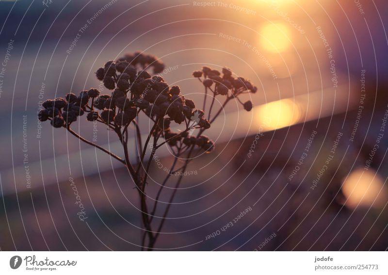 B@DD 11 | Guten Morgen Umwelt Natur Pflanze Erde Blume Blüte Wildpflanze dunkel gelb welk vertrocknet Gewöhnliche Schafgarbe Herbst Stimmung Sommer Erholung