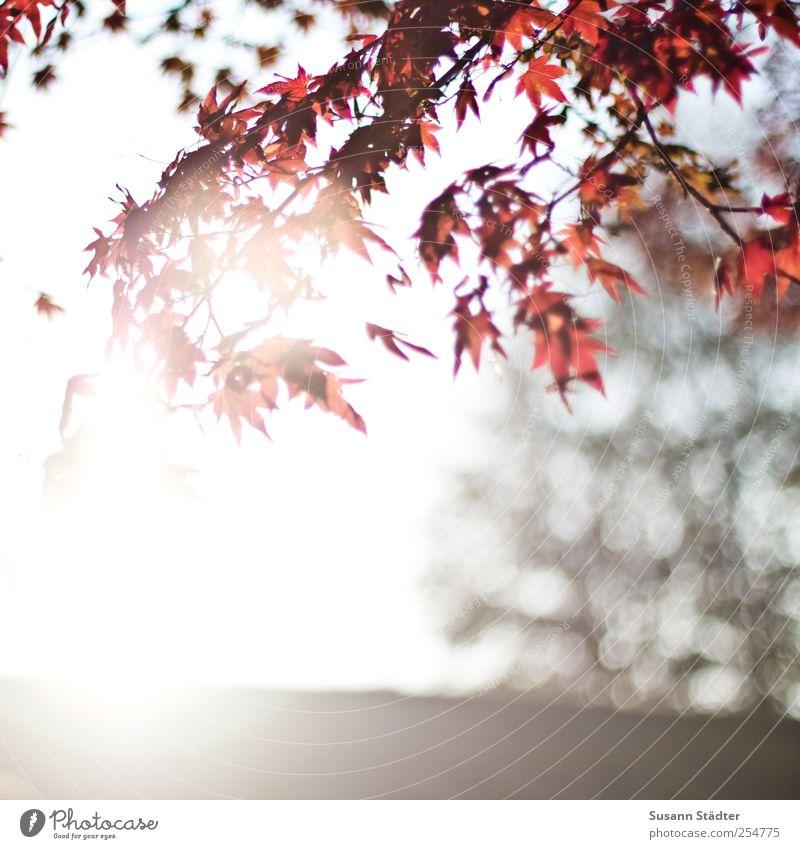 B@DD 11   Guten Morgen Himmel Natur Baum rot Sonne Blatt Herbst Park Schönes Wetter genießen hängen Herbstlaub Blendenfleck Herbstfärbung Wildpflanze