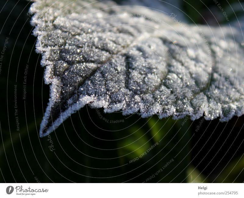 zackig... Natur weiß grün schön Pflanze Blatt Winter schwarz Herbst dunkel Umwelt Garten Eis glänzend natürlich ästhetisch