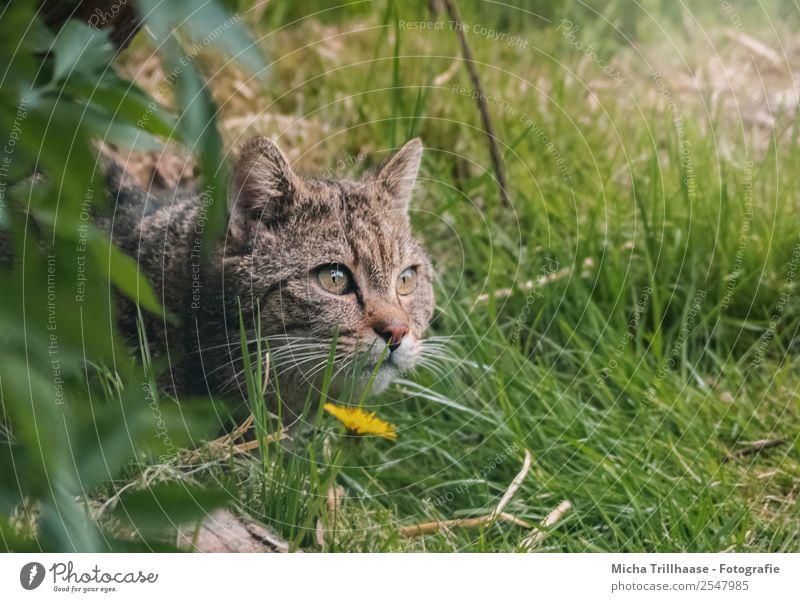 Lauernde Wildkatze Katze Natur grün Sonne Blume Tier Wald gelb Umwelt Auge Gras orange liegen Wildtier Schönes Wetter warten