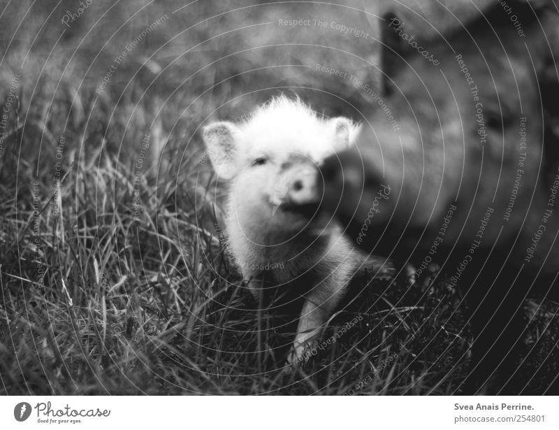 nie vergängliche liebe. Wiese Wildtier Zoo Schwein Ferkel 2 Tier Tierfamilie Bewegung Küssen dunkel Vertrauen Schwarzweißfoto Außenaufnahme Low Key