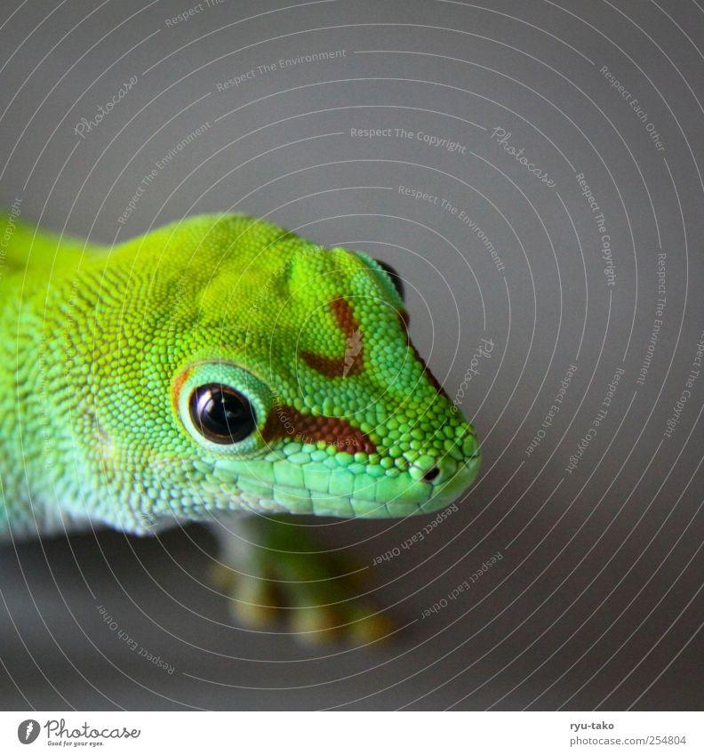 franz mein name Tier Schuppen Echsen Gecko Reptil 1 beobachten krabbeln laufen Blick exotisch nah Neugier schön grau grün stagnierend Muster Auge Farbfoto