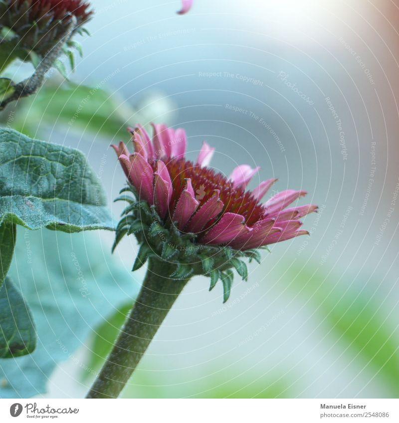 Pinke Schönheit Stil schön Gartenarbeit Natur Landschaft Pflanze Frühling Sommer Herbst Blume Sträucher Blatt Blüte Grünpflanze Blütenpflanz Sonnenhütte