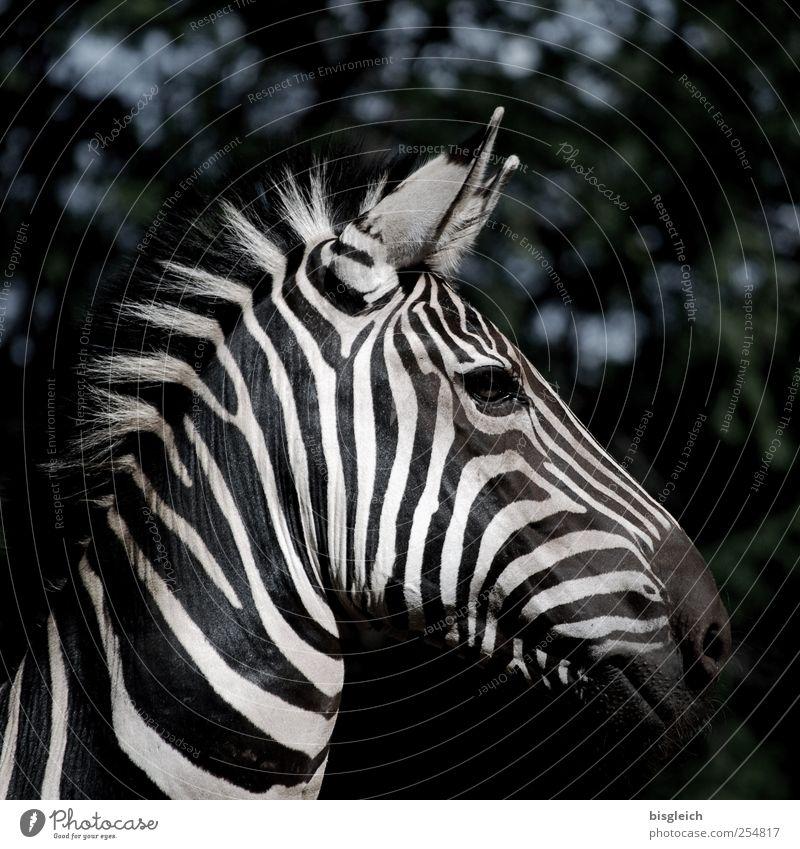 Zebra I weiß schwarz Auge Kopf Wildtier Streifen Ohr Tiergesicht Afrika Wachsamkeit Mähne