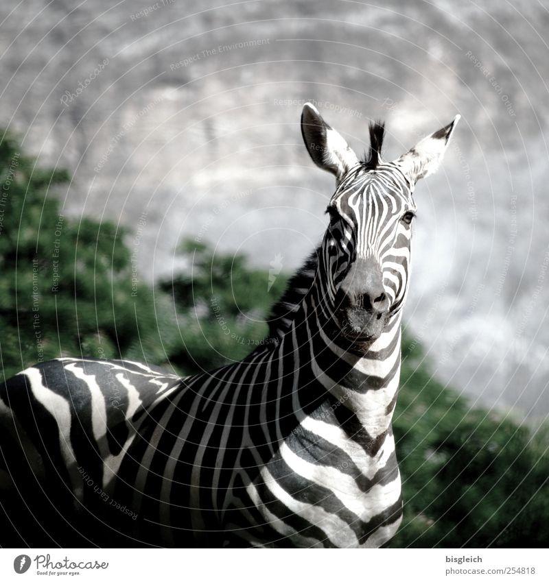 Zebra II weiß schwarz Tier Wildtier stehen Afrika Wachsamkeit achtsam