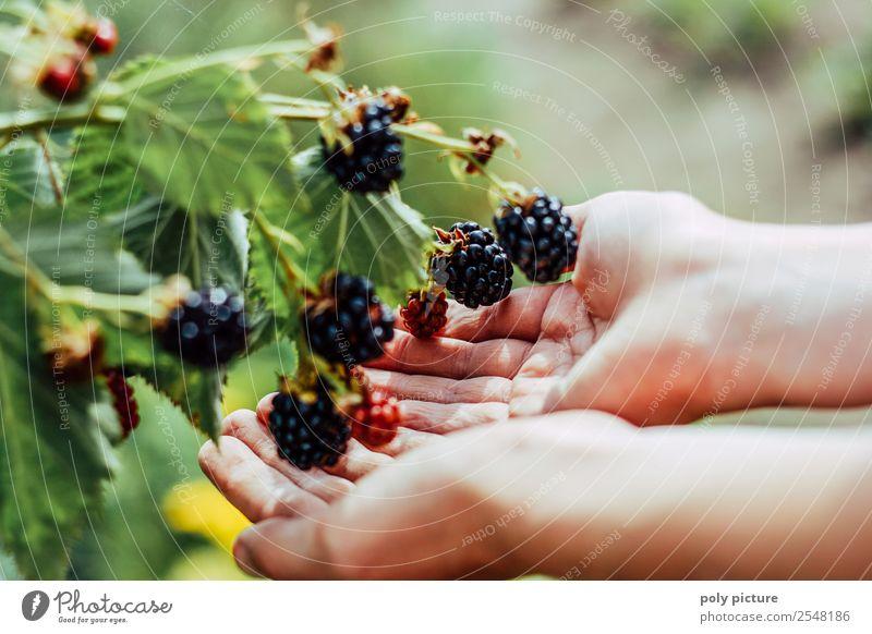 Kinderhände halten Brombeeren Jugendliche Gesunde Ernährung Sommer Pflanze Sonne Hand Gesundheit Leben Herbst Umwelt Familie & Verwandtschaft Garten