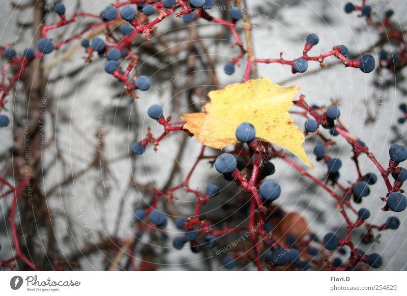 Amsel-Mahlzeit Natur Pflanze Blatt Farbe Herbst Wand Blüte Mauer Stadtzentrum Wildpflanze