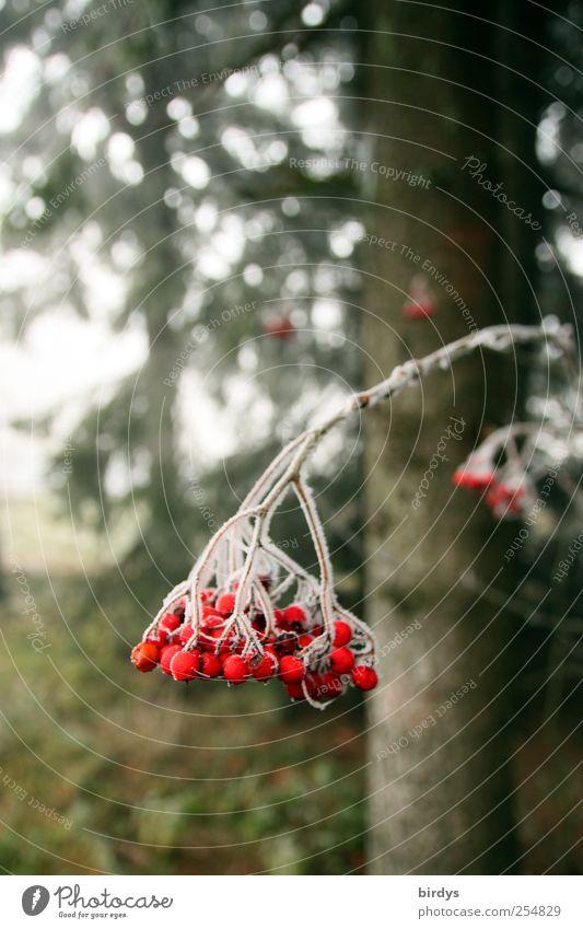 Eis am Stiel Natur Pflanze Herbst Wildpflanze Wald frieren hängen kalt grün rot weiß Klima Wandel & Veränderung rote Beeren Fruchtstand roter Holunder