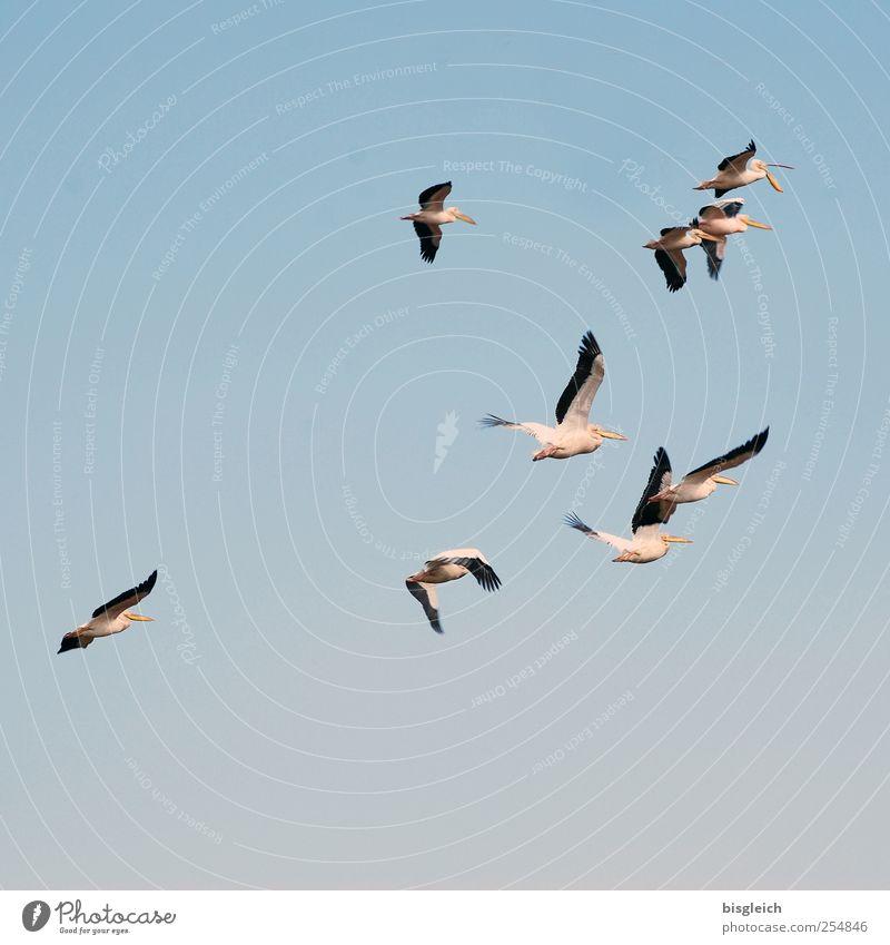 Pelikane III Himmel Ferne Freiheit Vogel Zusammensein rosa elegant fliegen Wolkenloser Himmel Schwarm Tier