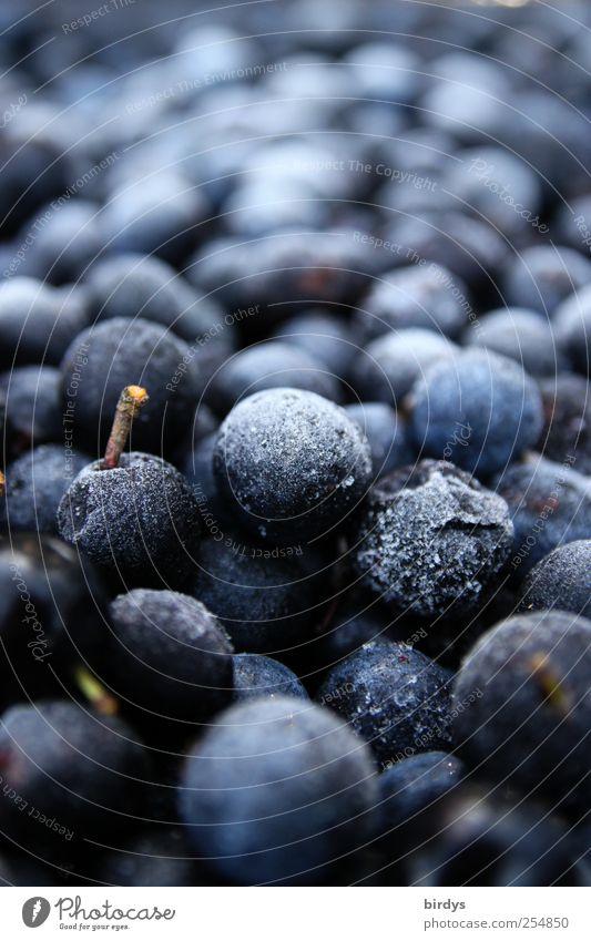 Angefrorene Schlehenernte Natur blau kalt Lebensmittel Frucht frisch rund viele gefroren Stengel Ernte Duft frieren Beeren sauer Vorrat