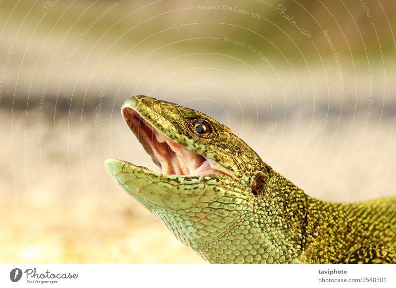 wütender Mann grüne Eidechse Porträt schön Haut Erwachsene Mund Natur Tier bedrohlich klein natürlich wild Wut gefährlich Farbe Lizard Kopf offen Biss