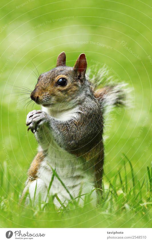 seltsames graues Eichhörnchen auf dem Rasen schön Garten Natur Tier Gras Park Wald Pelzmantel füttern stehen klein lustig natürlich niedlich wild braun grün