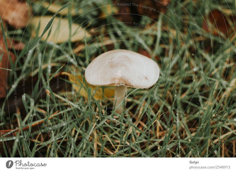 Weißer Pilz im Wald mit Gras um sich herum Umwelt Natur Pflanze Herbst Park Hut Wachstum hell natürlich wild braun grün Farbe sonnig Verschlussdeckel fallen