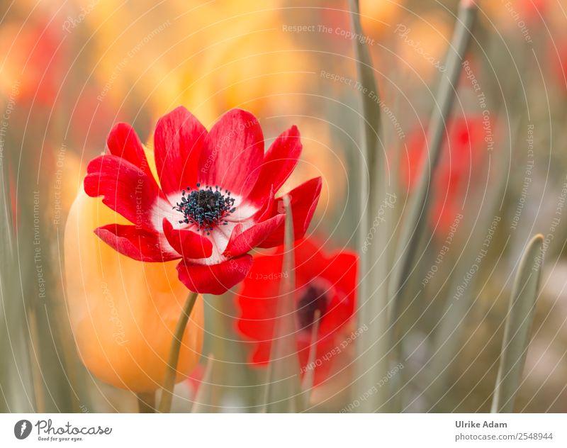 Rote Anemonen Natur Pflanze grün rot Blume ruhig gelb Blüte Frühling Feste & Feiern Garten Design Dekoration & Verzierung Park elegant Blühend