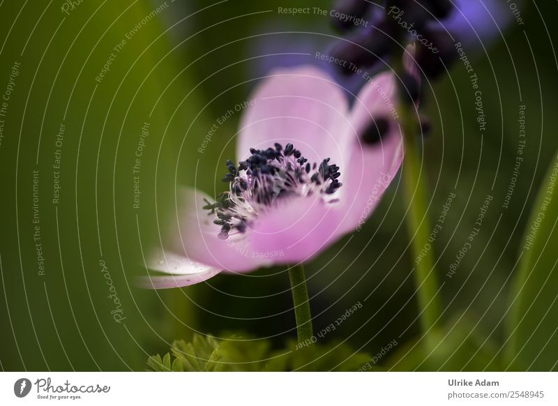 Rosa Anemone Wellness Leben harmonisch Wohlgefühl Zufriedenheit Sinnesorgane Erholung ruhig Meditation Kur Spa Dekoration & Verzierung Tapete Feste & Feiern