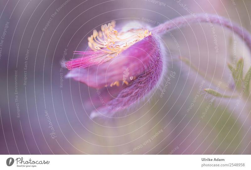 Kuhschelle (Pulsatilla vulgaris) Natur Pflanze schön Blume Erholung Blüte Frühling Garten rosa Design Dekoration & Verzierung Park träumen elegant Geburtstag