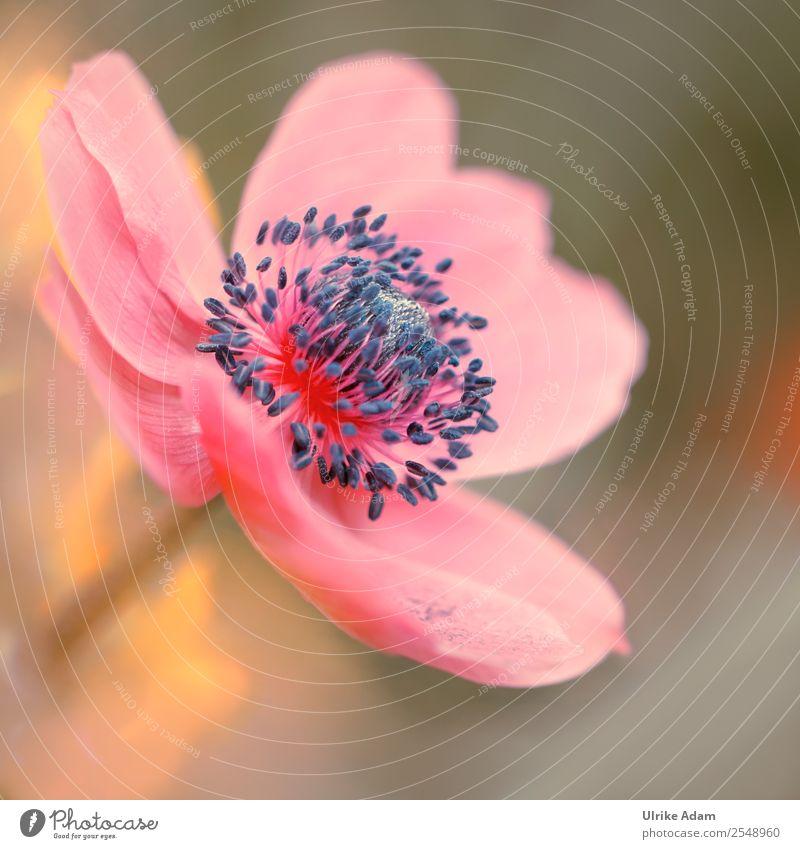 Rosa Anemone Natur Pflanze schön Blume Erholung ruhig Blüte Frühling Garten rosa Dekoration & Verzierung elegant Blühend Wellness Wohlgefühl zart