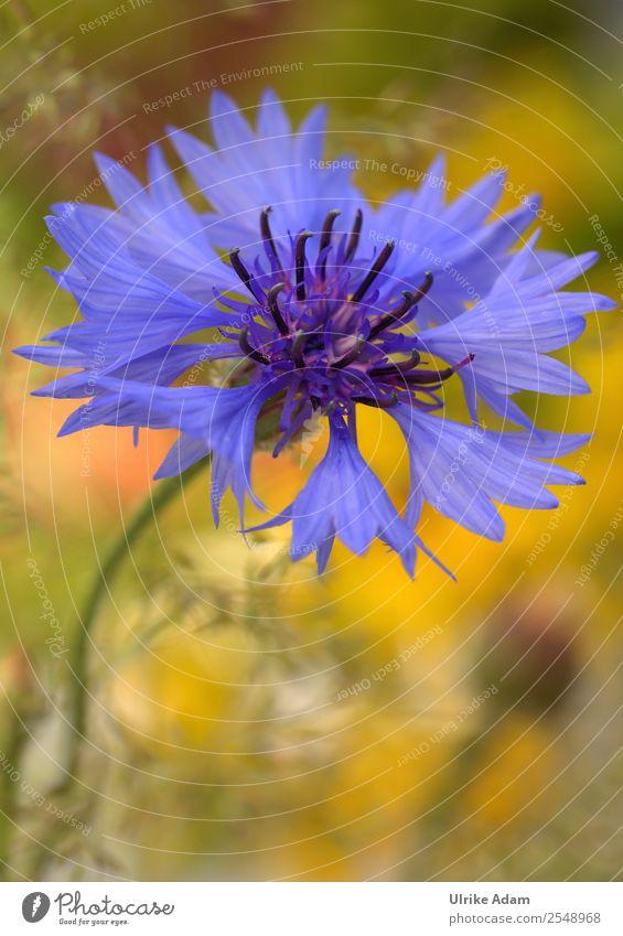 Kornblume Natur Sommer Pflanze blau schön Blume Erholung ruhig Blüte Frühling Feste & Feiern Garten Design Zufriedenheit Dekoration & Verzierung Park