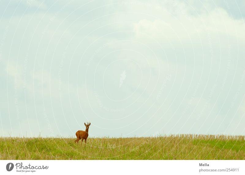 Guten Morgen Umwelt Natur Landschaft Tier Wiese Feld Wildtier Reh 1 Blick stehen frei natürlich Freiheit Farbfoto Außenaufnahme Menschenleer Textfreiraum oben