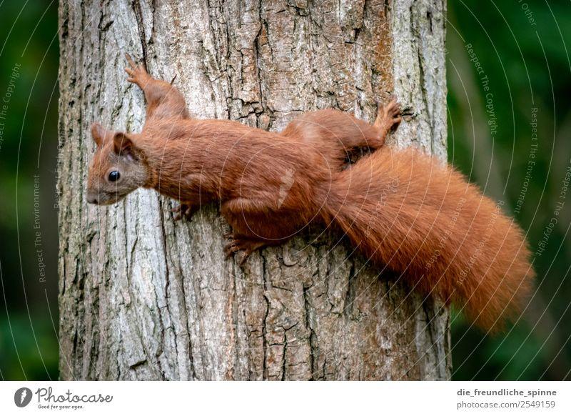 Eichhörnchen auf Futtersuche Natur grün Baum Tier Wald braun Park Schönes Wetter Sträucher niedlich Baumstamm Klettern Appetit & Hunger Interesse Nagetiere Nuss