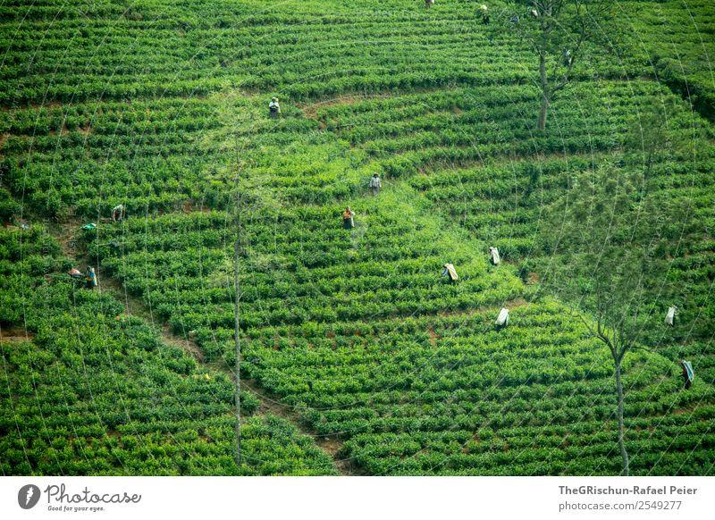 Teeplantage Natur Landschaft grün Ernte Güterverkehr & Logistik Tourismus Sri Lanka Arbeit & Erwerbstätigkeit Außenaufnahme anstrengen Hügel Feld Pflanze