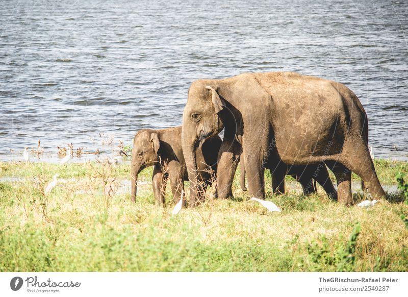 Mama - Love Tier 2 Tierjunges Tierfamilie braun grün Elefant Elefantenbaby Rüssel See Sri Lanka Naturschutzgebiet Safari Reisefotografie