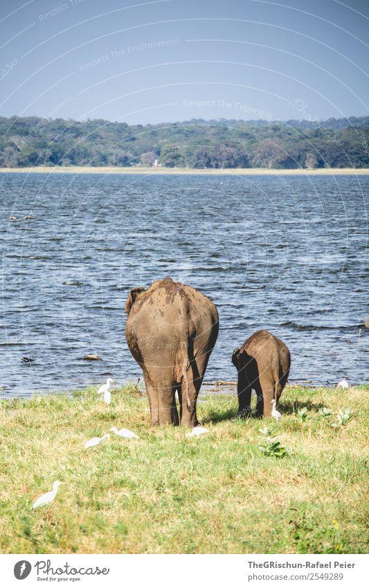 Mama - Love II 2 Tier Tierjunges Tierfamilie blau braun grau Elefant Elefantenbaby Schwanz Mutter Zusammensein Liebe mutter kind Herde Sri Lanka Wasser Gras
