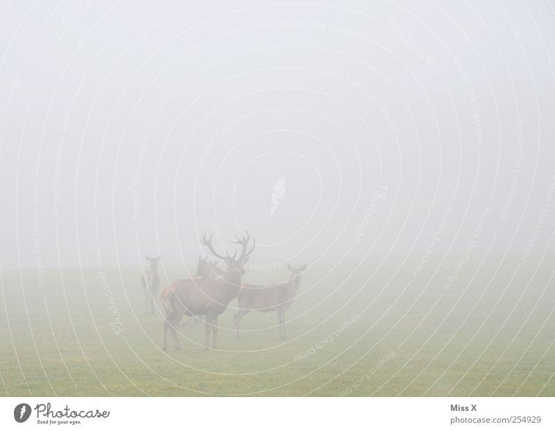Wo? Da, dahinten! Wo? Na daaaaa! Woooo? Tier Herbst grau Feld Nebel Wildtier Tiergruppe Horn Hirsche schlechtes Wetter Schüchternheit Herde