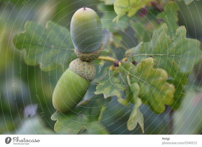 Eicheln am Baum Umwelt Natur Pflanze Herbst Blatt Wildpflanze Frucht Eichenblatt Wald hängen Wachstum klein natürlich grau grün Zweig Farbfoto Gedeckte Farben