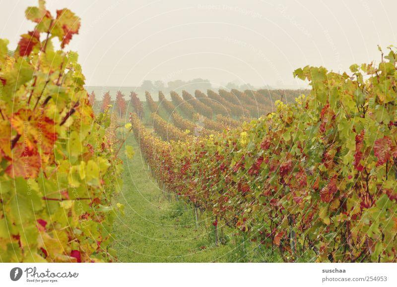 SÜW Umwelt Natur Landschaft Himmel Horizont Herbst Klima Feld grün Idylle Perspektive Landwirtschaft Weinberg Kulturlandschaft Weinbau Weinblatt Farbfoto