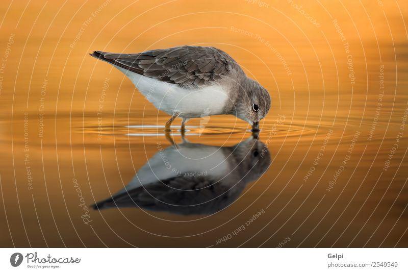 Schöner Watvogel Essen trinken Strand Meer Spiegel Natur Tier Sand Küste Vogel Flügel füttern stehen natürlich wild braun grau weiß Ornithologie Meeresvogel