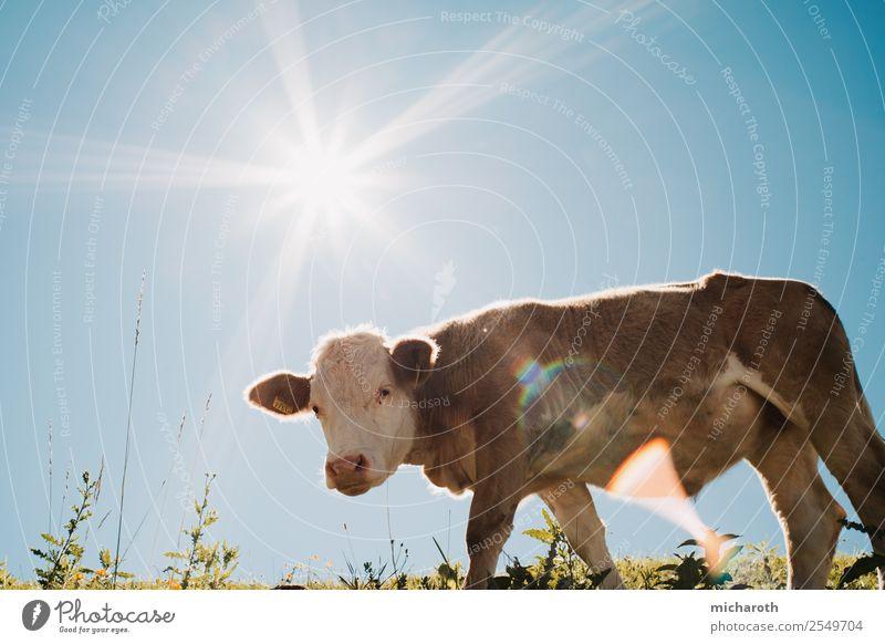 Sonne über Kuh Gesunde Ernährung Ferien & Urlaub & Reisen Ausflug Abenteuer Berge u. Gebirge wandern Landwirtschaft Forstwirtschaft Industrie Umwelt Natur