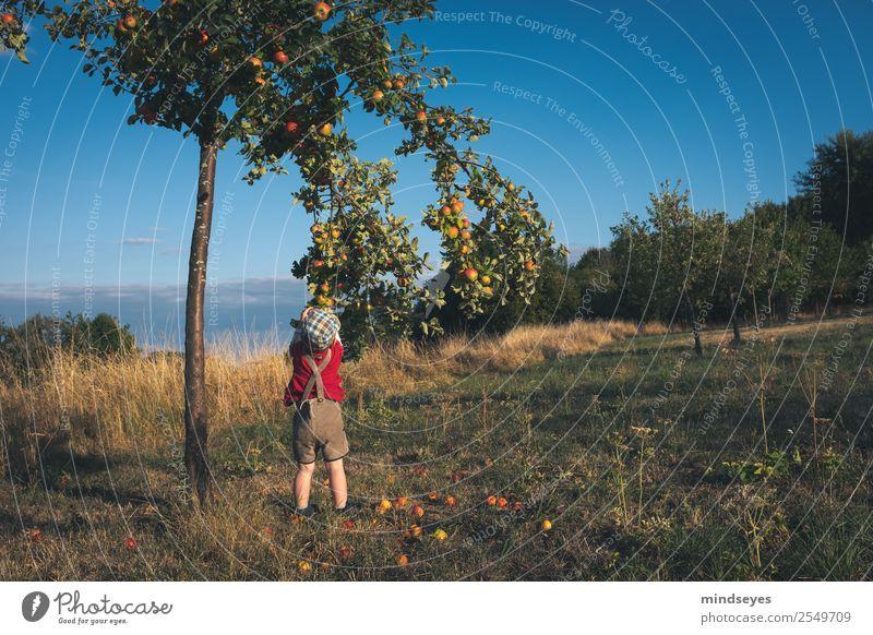 Kleiner Junge in Lederhosen pflückt Äpfel Freude Spielen Sommer Garten Mensch maskulin Kindheit 1 1-3 Jahre Kleinkind Natur Pflanze Gras Apfelbaum Krachlederne