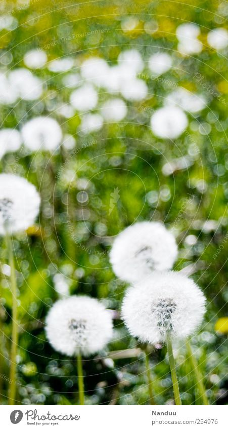 Impressionistisch angehauchte, schneeballähnliche Objekte grün weiß Pflanze Wiese rund Löwenzahn Blumenwiese gepunktet