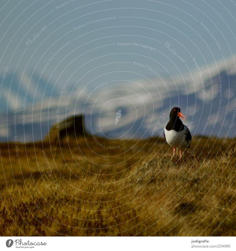 Island Natur Pflanze Tier Umwelt Landschaft Berge u. Gebirge Gras Vogel natürlich wild Wildtier Island Austernfischer