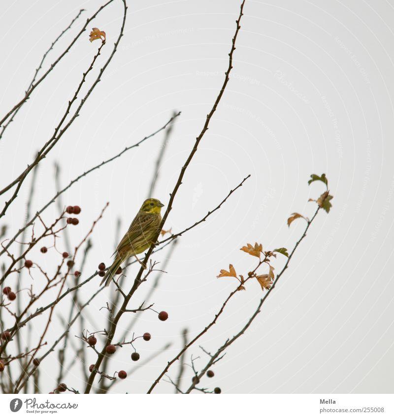 Vogelherbst Umwelt Natur Pflanze Tier Herbst Winter Baum Sträucher Ast 1 hocken Blick sitzen klein natürlich niedlich trist grau Farbfoto Außenaufnahme