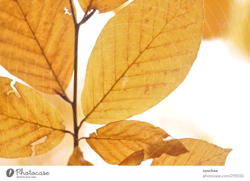 herbstblätter Natur Himmel Herbst Klima ästhetisch gelb gold Wandel & Veränderung Jahreszeiten Blattadern durchscheinend Blätter Riss herbstlich Farbfoto