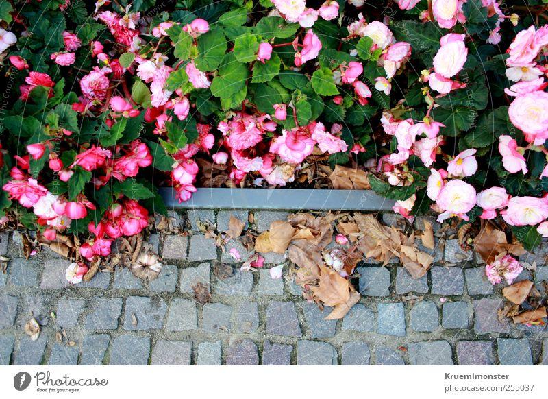 Rücktritt Natur Pflanze Blume Rose Blüte Garten Park schön einzigartig mehrfarbig rosa Kitsch Farbfoto Außenaufnahme Vogelperspektive