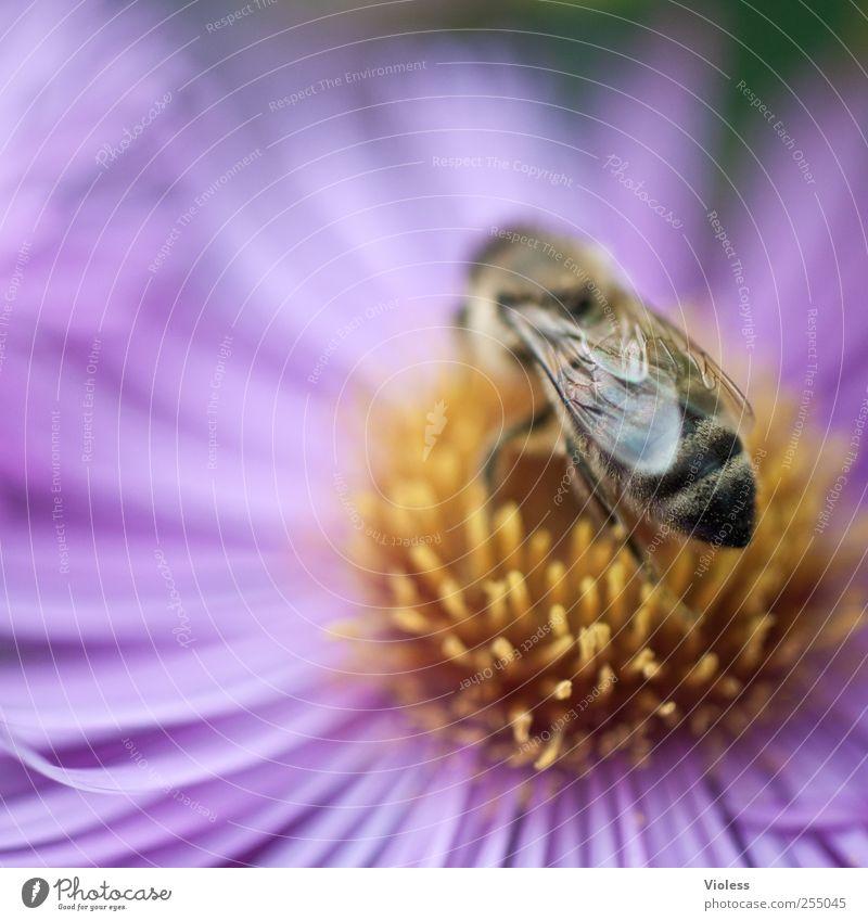 Honeybee Natur Pflanze Tier Blume Blüte Biene Duft nah Hautflügler Stechimme gestreift Flügel Margariten Makroaufnahme Farbfoto mehrfarbig Außenaufnahme