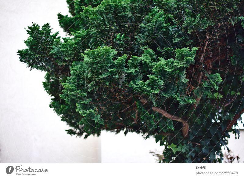 brokkolibaum Natur Pflanze Baum Grünpflanze Garten ästhetisch gut Originalität stachelig weich grün Vorgarten Sträucher Holz Ast Nadelbaum Gedeckte Farben