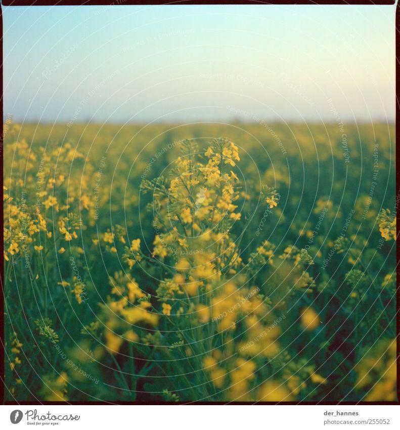 tank mal voll Umwelt Natur Landschaft Himmel Wolkenloser Himmel Sonne Sommer Schönes Wetter Pflanze Blume Blüte Nutzpflanze Raps Feld Wachstum gelb beweglich