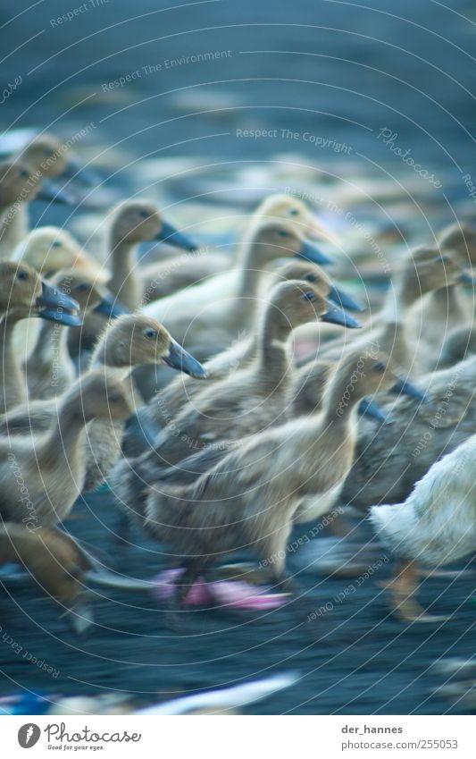 duckattack Meer Strand Tier Küste See laufen rennen Geschwindigkeit verrückt Flügel Tiergruppe Seeufer Flussufer Ente Nutztier Schwarm