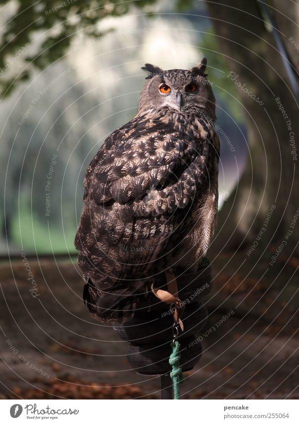 òó grün ruhig Tier grau braun ästhetisch Wildtier Zoo Wachsamkeit Weisheit geduldig Eulenvögel Selbstbeherrschung Uhu