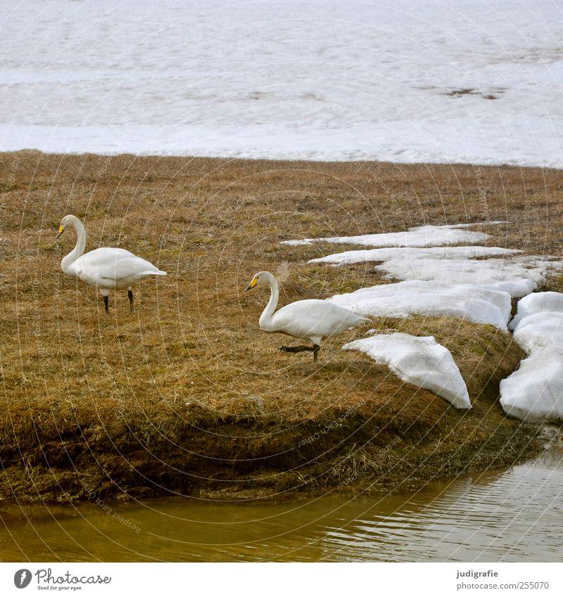 Island Umwelt Natur Tier Eis Frost Schnee Seeufer Wildtier Vogel Schwan singschwan 2 Tierpaar gehen natürlich schön wild Farbfoto Außenaufnahme Menschenleer Tag