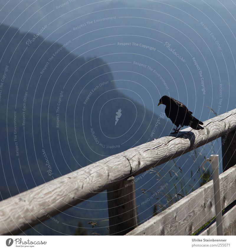 Bergwacht Natur Sommer schwarz Tier Landschaft Berge u. Gebirge Holz Vogel warten Tourismus Wildtier stehen Flügel beobachten Neugier Alpen
