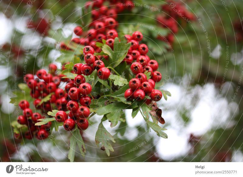 Weissdornbeeren Umwelt Natur Pflanze Herbst Sträucher Blatt Wildpflanze Frucht Beeren Beerenfruchtstand Zweig Park hängen Wachstum authentisch frisch klein